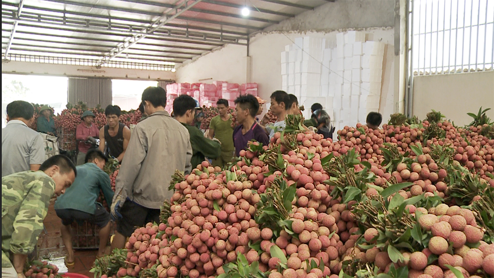 Lao động làm thuê thu nhập cao trong mùa vải thiều